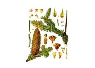 Ladin ağacı romatizma, solunum yolları hastalıkları