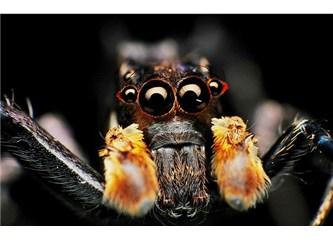 Aldatmaca uzmanı Portia Örümcekleri!