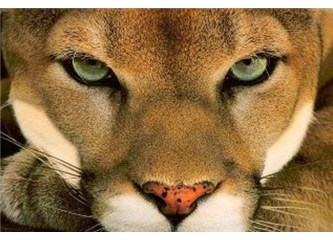 Ormanın harika dev kedileri: Pumalar
