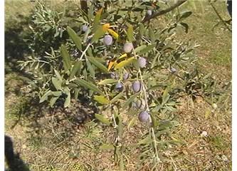 Zeytin ve zeytin yaprağının faydaları