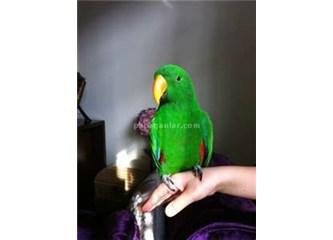 Tatlı dilli Papağan