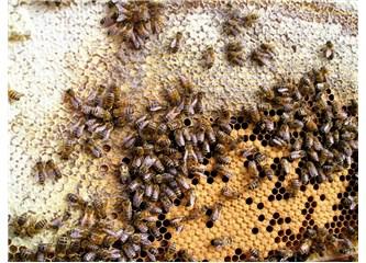 Bal arısı, kara sinek ve eşek arısı