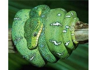 Boa yılanları kurbanlarının kalp atışını hissedebiliyor!