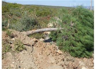 Bir Çam ağacıydım, Akbük yolunda...