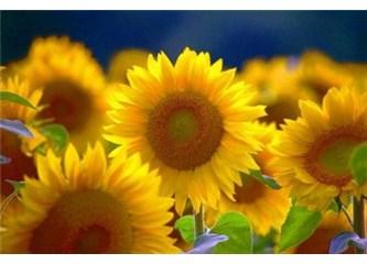 Günebakanın güneş gözleri