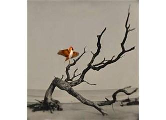 İspinoz kuşu ve çarpık çam ağacı