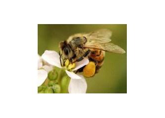 Arılarda uzlaşma kültürü