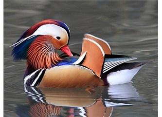 Mandarin ördeklerindeki muhteşem renk sanatı!