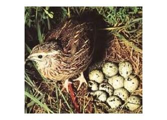 Bıldırcın yumurtasının yararları