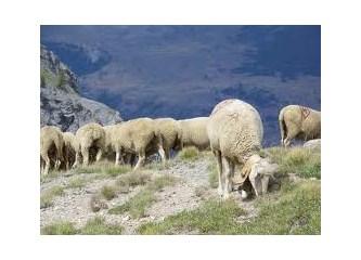 Abaz'ın koyunları