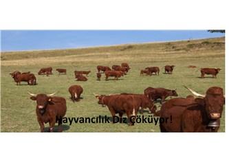Et ve sütte tarım politikaları kime hizmet ediyor?