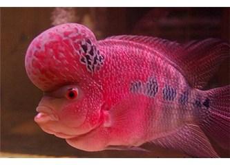 Harika bir yaratılış mucizesi: Flowerhorn balığı (çiçek boynuz) balığı