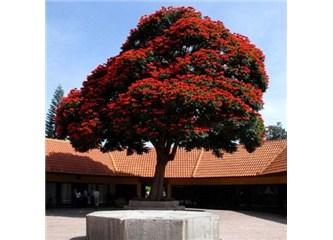 Görmediğimiz güzellikler: Afrika Lale ağacı, resimler