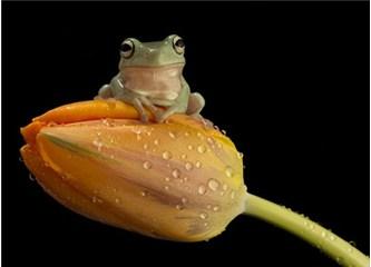 Kurbağaların sıçrama hareketlerindeki yaratılış mucizelerini biliyor musunuz?