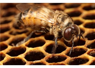 Arılar yalnız içgüdüyle muhteşem kovanları nasıl yaparlar?