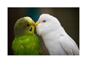 Muhabbet kuşu beslerken dikkat edilmesi gerekenler!