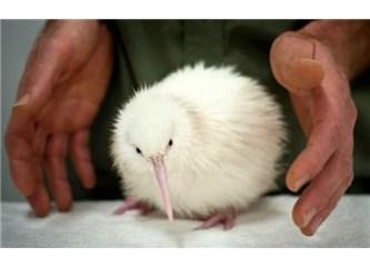 Dünyanın en sevimli kuşlarından biri olan Kivi kuşu'nu tanıyor musunuz?