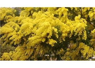 Geçmiş bahar mimozaları
