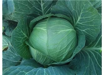 Lahana, alkali ve çok yararlı bir besin... / ''Beslenmenin Diyalektiği'' (47)