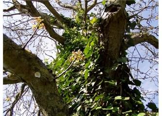 """""""Yaşamak bir ağaç gibi tek ve hür ve bir orman gibi kardeşçesine"""""""