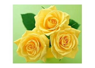 Sarı güller gibi,