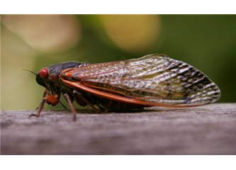 Ağustos böceklerinin ABD işgali