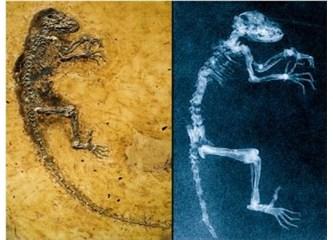 Evrimcilerin ara geçiş formu olarak heyecanla sundukları Ida ile ilgili itiraflar