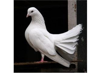 Güvercinlerin kafasındaki manyetik yapıyı biliyor musunuz?