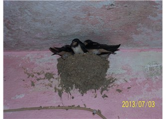 Göçmen kuşların nesli azalıyor mu?
