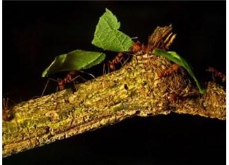 Yaprak kesici Karıncalar