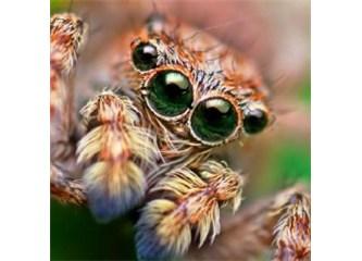Sıçrayan örümceğin müthiş görüş kabiliyeti! Resimler
