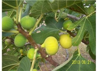 Aydın'ın doğal lokumu, taze ve kuru incir