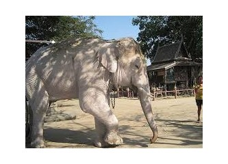 Beyaz fil ve Timur'un fili