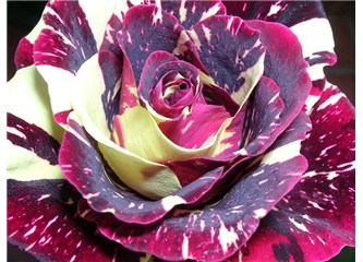Burakgazi'nin gülleri