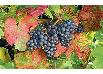 Aşk şaraphanede şarapçı