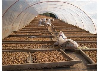 Aydın ilimizin doğal lokumu, kuru incirin faydaları: