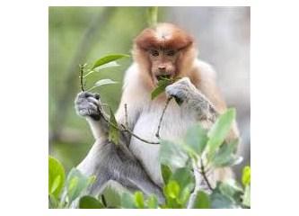 Yağmur ormanları ve sefil maymun