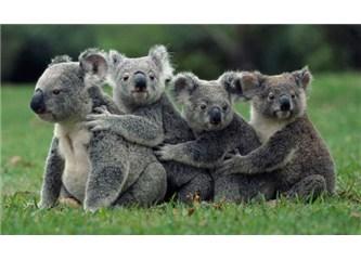 Günün 18 saatini uyuyarak geçiren Koalalar!
