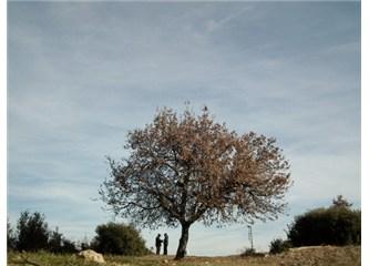 Palamut Ağacı