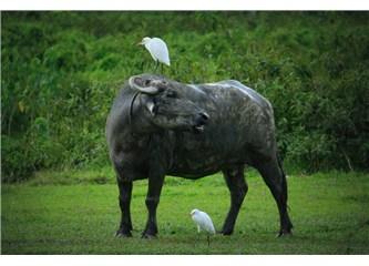 Chitwan Vahşi Yaşam Parkı'nda Gergedan kovalamaca