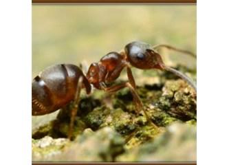 Akasya ağaçlarını canları pahasına koruyan karıncalar
