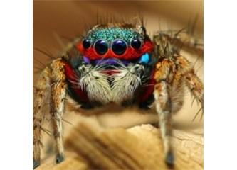 Muhteşem yaratılmış bir canlı: Sıçrayan örümcek