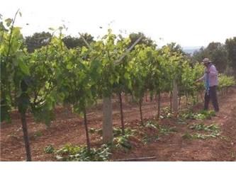 Üzüm fidanı üretimi