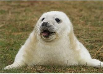 Vurgun yemeden metrelerce derine dalabilen fok balıkları…