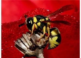 Arıların iki çeşit dansı var!