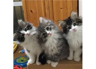 Kedilerde Diyafram Fıtığı tehlikesi