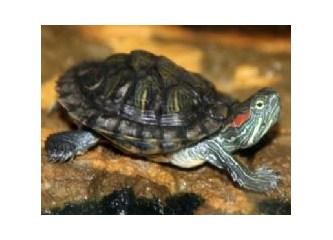 Belirtilerine göre kaplumbağa hastalıkları