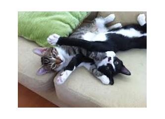 İki kedi, bir aslana pes ettirir