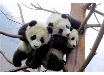 İskoçya'da panda olmak varmış.