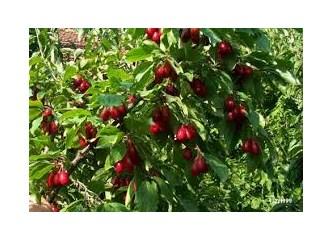 Mevsim meyvesi Kızılcık meyvesinin sağlığımıza faydaları...
